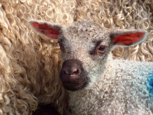 Our organic Teeswater sheep