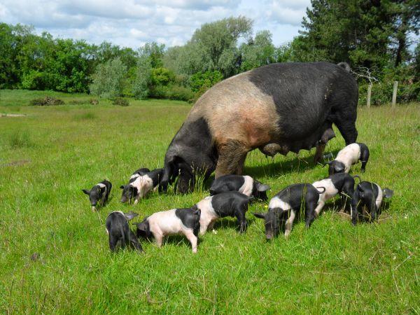 Saddleback pigs at Hunting Hall