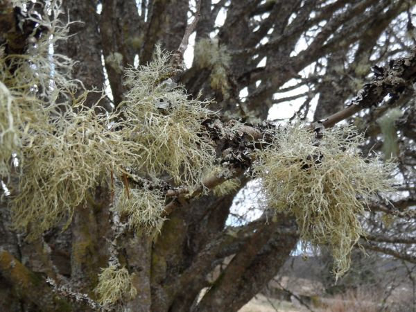 Intro. to clean air-indicating lichens