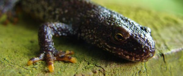 Introduction to great crested newts and other amphibians
