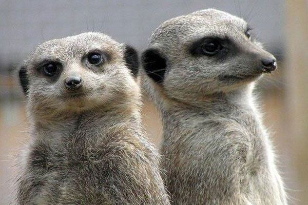 Meerkats at Kirkley is near Summer of Fun