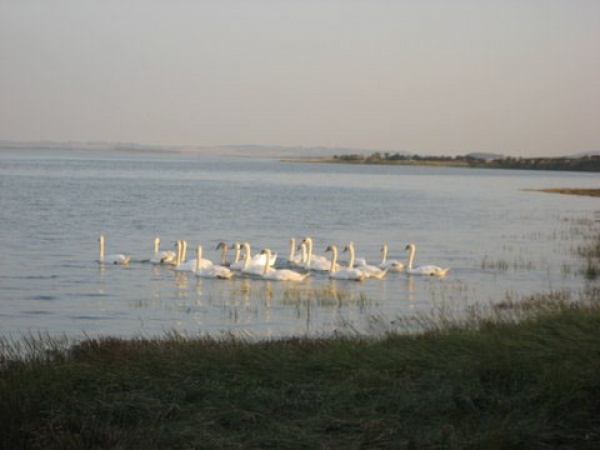 Swans on the water at Lindisfarne Bay