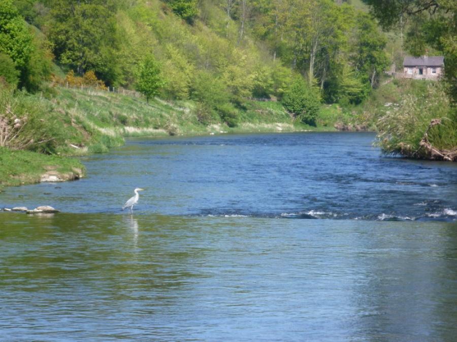 Heron on the River Tweed