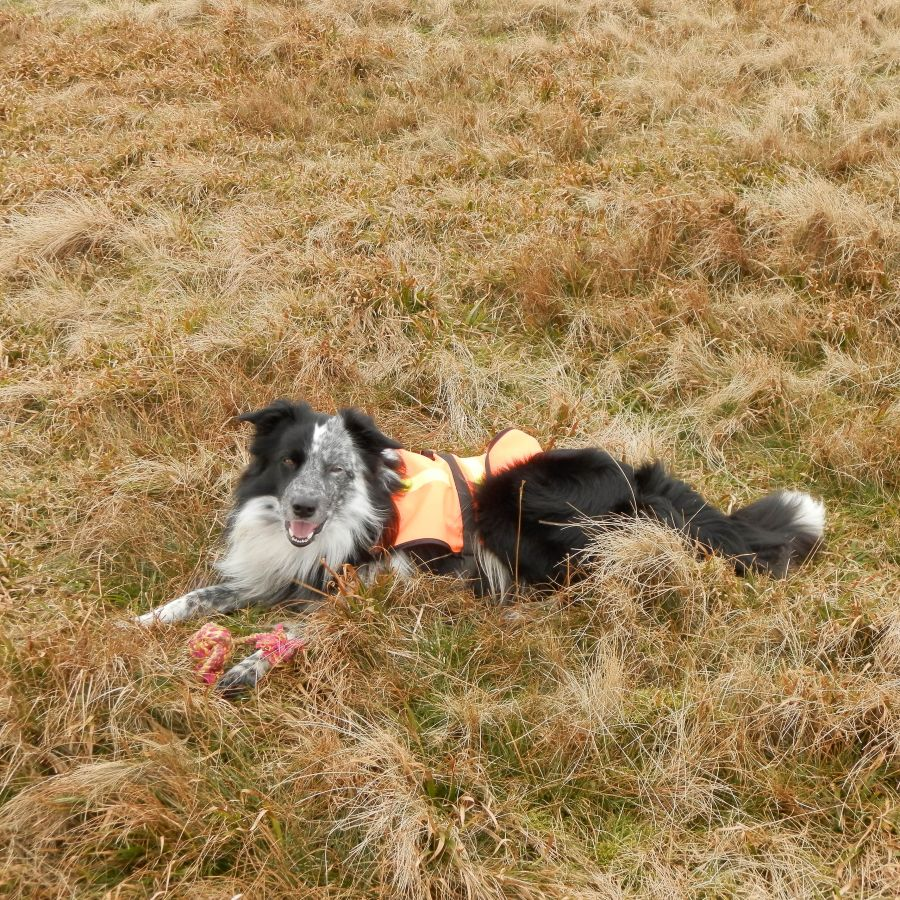 Roy, our Trainee Search and Rescue Dog.