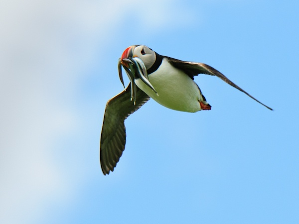 Puffin, one-to-one photography workshop 15/06/2013