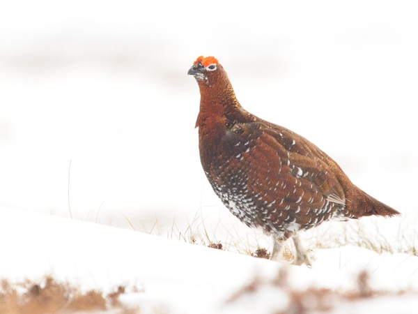 Red Grouse, North Pennines 31/03/2013