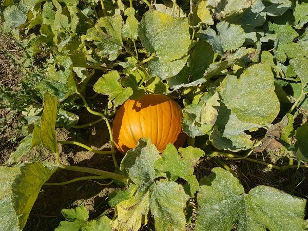 Pick Your Own Pumpkin!
