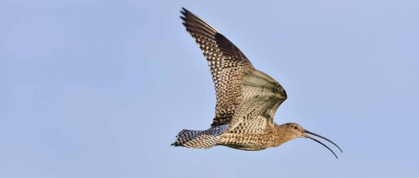 Sil Sunday - Call of the Curlew