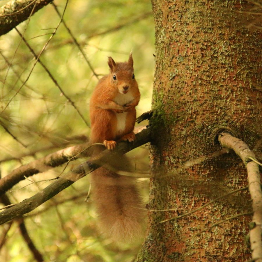 Red squirrel c Katy Barke