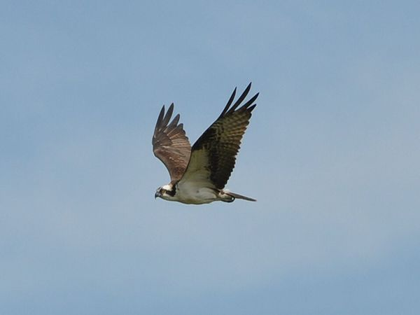 Wildlife and Osprey Motor Boat Cruise