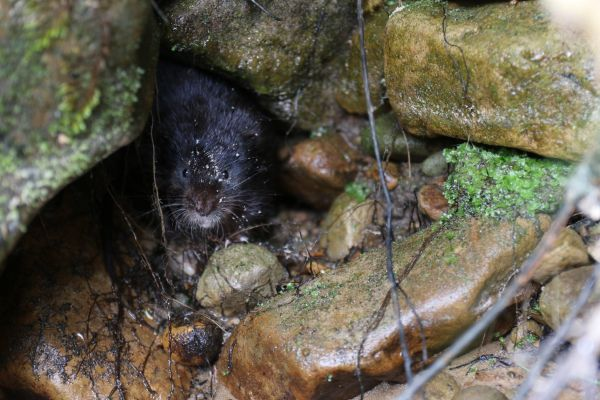 Restoring Ratty: Bringing the water vole back to Kielder