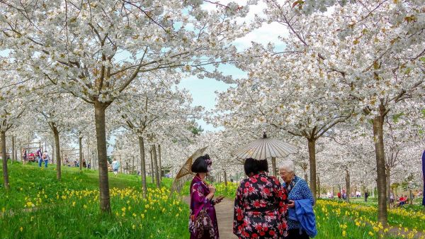 How to 'Hanami' at The Alnwick Garden