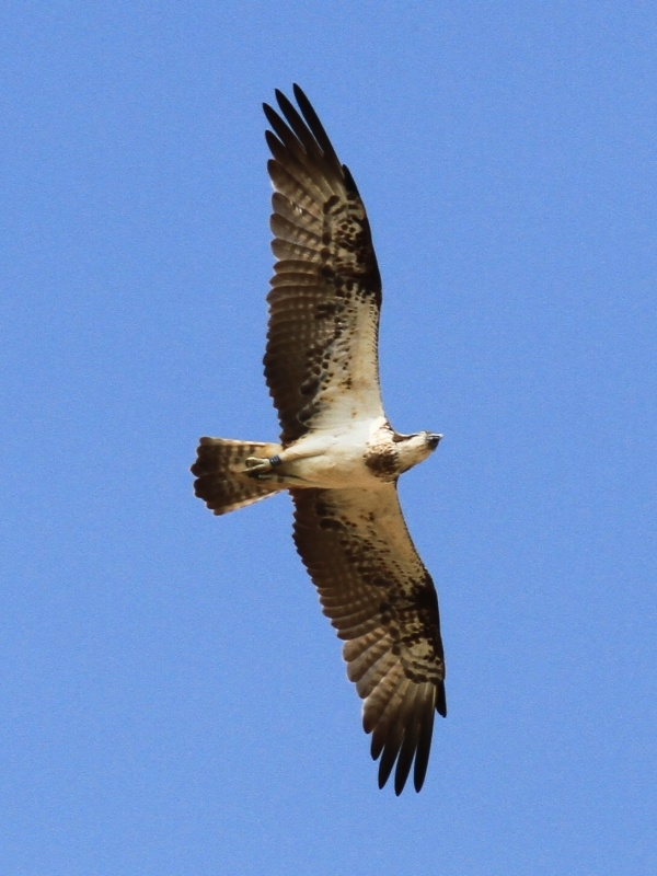 A flying visit for Kielder osprey