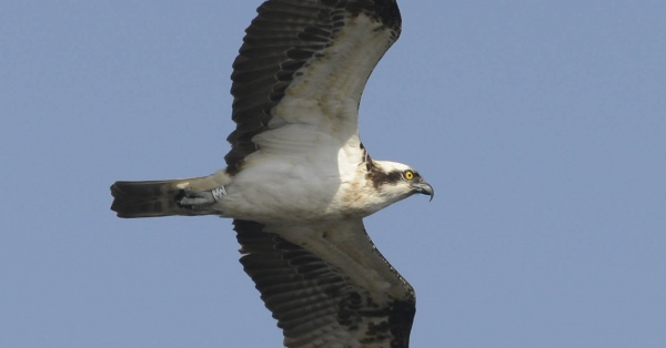 Its osprey time again!
