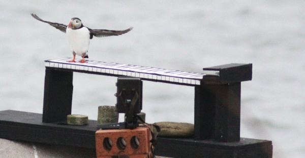 Party on for Amble's Puffins