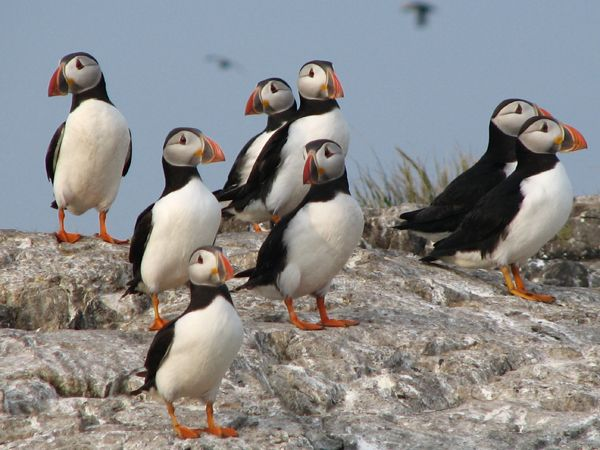 Another early start for Farnes Puffins