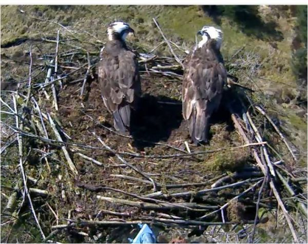 Kielder osprey gets a new bird