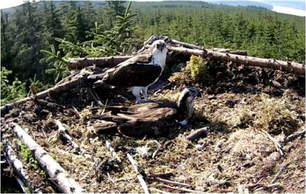 Ospreys not shell-shocked by fling