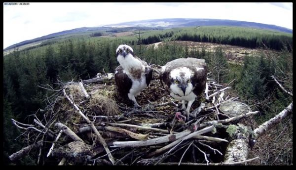 A record early return for the Kielder Ospreys