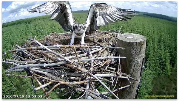 Record breaking breeding season for Kielder ospreys
