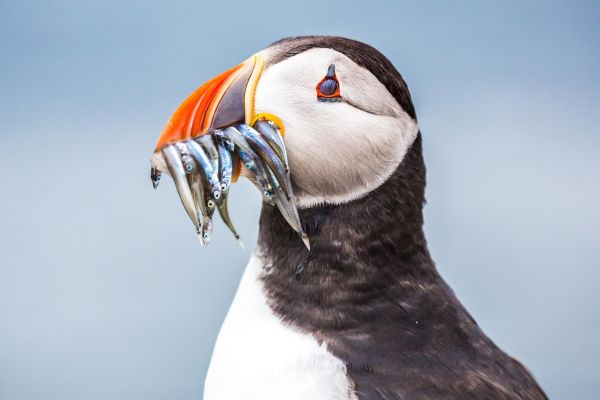 Puffin catches the judge's eye to win Photographic Competition