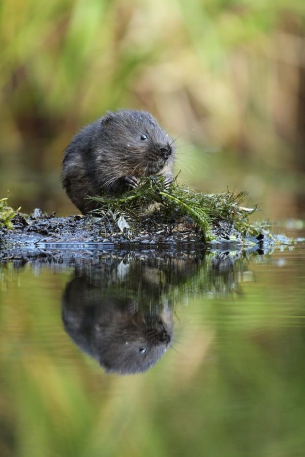 The largest ever reintroduction of endangered water voles in the UK is underway