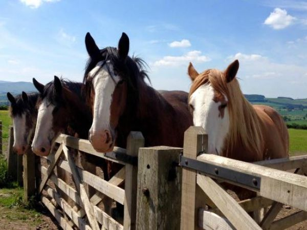 Heavy Horses to Die Out Within a Decade Without Help