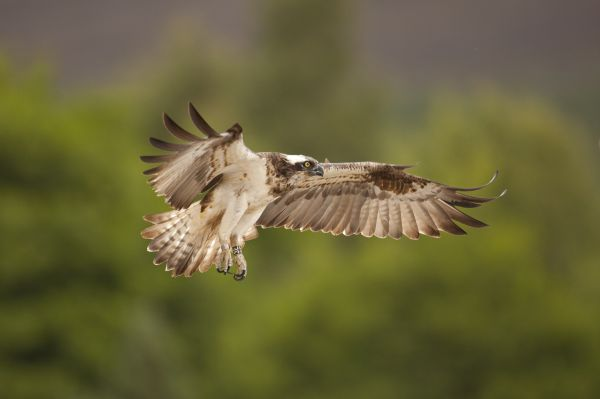 Volunteer for a wonderful osprey experience this summer