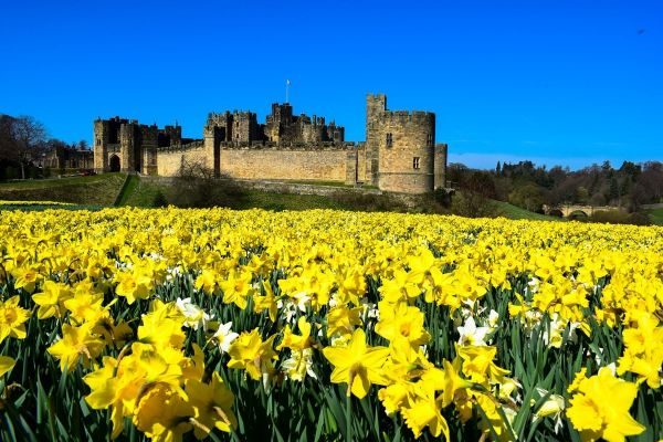 George's daffodil delight - 250,000 daffodils planted by hand, steal the show at Alnwick Castle