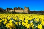 George's daffodil delight  250,000 daffodils planted by hand, steal the show at Alnwick Castle