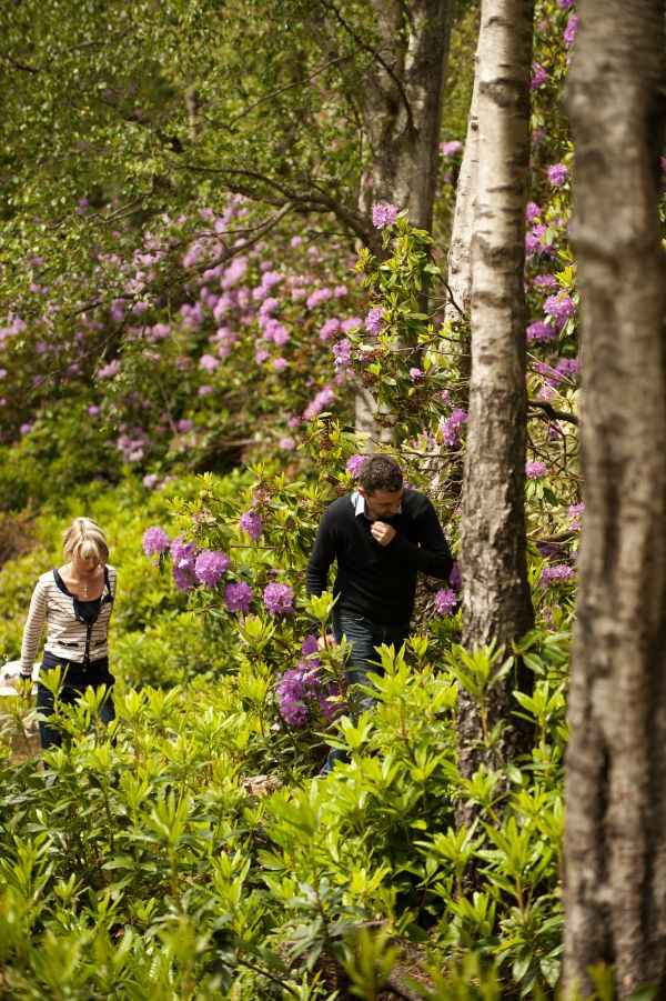 Rhododendrons are blooming lovely at Cragside