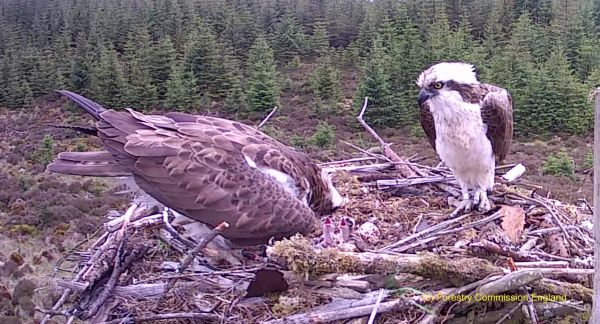 Kielder Osprey hatchings bring new life to the species' recolonisation story