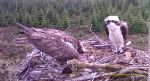 Kielder Osprey hatchings bring new life to species' recolonisation story