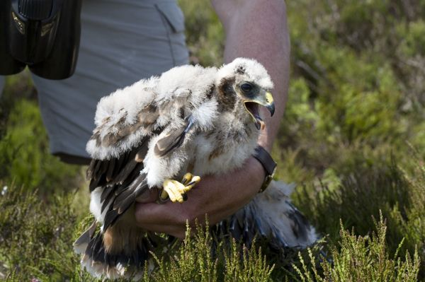 Northumberland - A haven for hen harriers once again