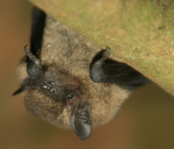 Home to roost – largest hibernation of pipistrelle bats recorded at Seaton Delaval Hall