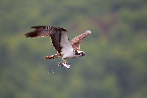 Osprey Watch gearing up for return of the birds