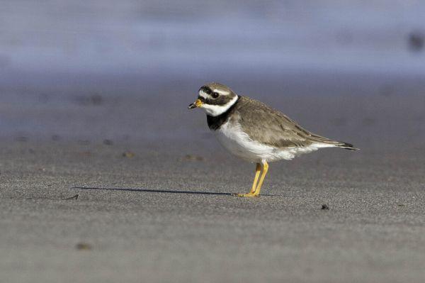 Volunteers needed to help vulnerable shorebirds in Northumberland
