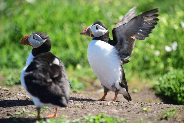 Puffin numbers stable despite last summer's wash-out as sufficient pufflings successfully hatch on Farne Islands
