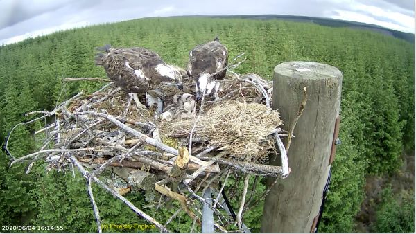 Chick them out: Kielder has 11 new ospreys, with more to come