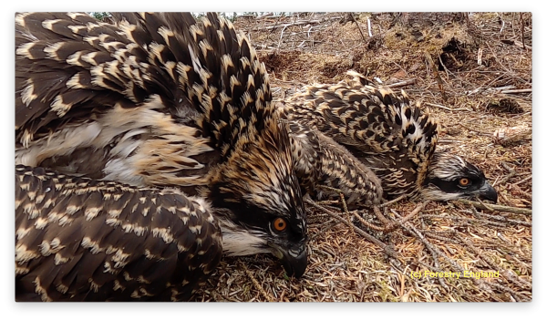 A ringing success!  Kielder osprey chicks are ringed and named
