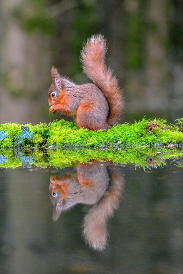 Red Squirrels need our help! Conservation experts reveal best ways the public can help the endangered mammals